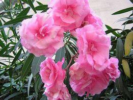 Комнатные цветы. Большой цветок в вазоне для дома и офиса. Олеандр.