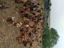 Selling Free range chickens