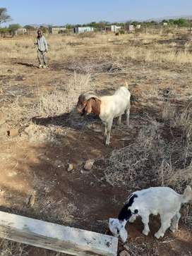 I'm selling pure boerbok ram, for R3500