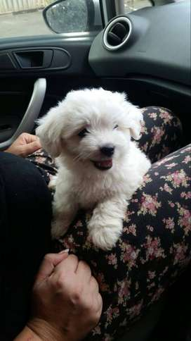 Maltese puppies- DURBAN area