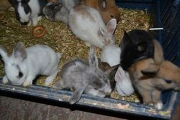 Торчеухие и вислоухие карликовые кролики