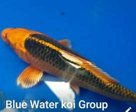 Koi Fish Available