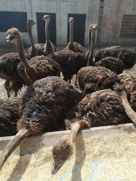 Ostriches, Goats, Sheep, Cattles for sale