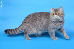 Котенок экзотический. питомник Gentle-miracl