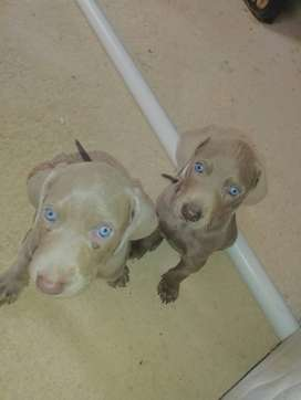 Beautiful Weimeraner Puppies ready for new homes