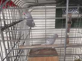Ring neck birds for sale