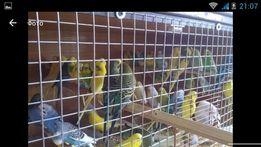 Папуги молодь