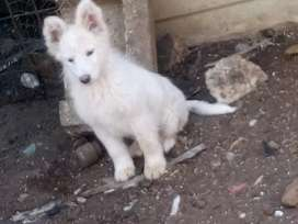 Pure bred Swiss shepherd puppies vaccinated and dewormed13weeks old sw
