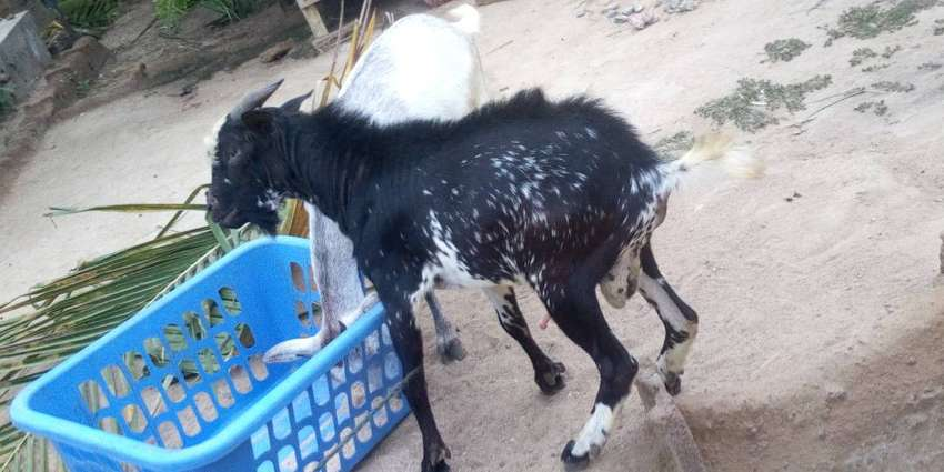Goats for sale 0
