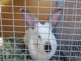 RABBITS FOR SALE NEWZEALD WHITE AND CALIFORNIANS 2 T0 10 MONTHS OLD