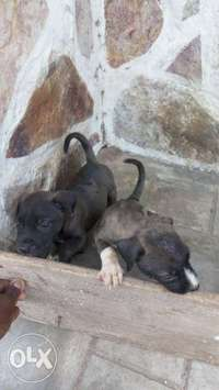 Image of Pitbull Puppies