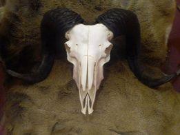 череп большого барана продам