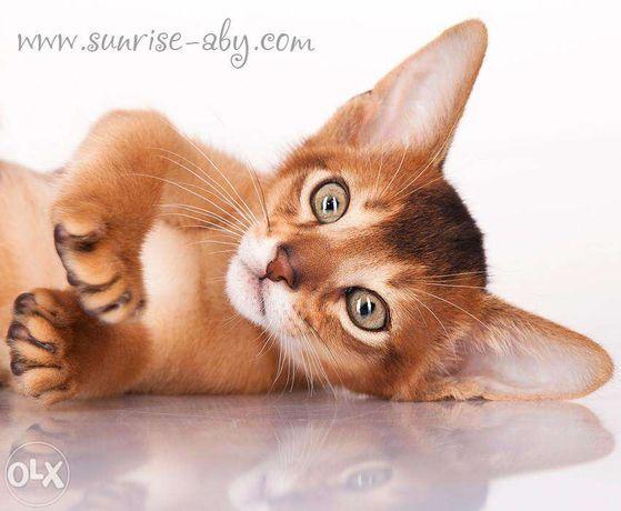 Абиссинский котенок - американский тип Киев - изображение 8