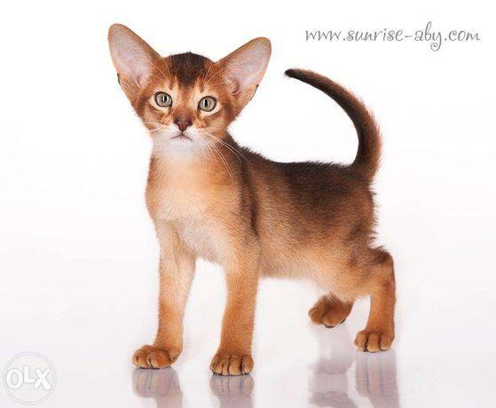 Абиссинский котенок - американский тип Киев - изображение 2