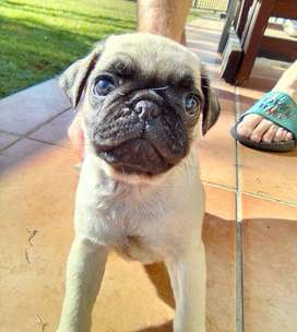 2 Fawn Male Pug puppies