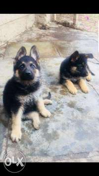 Pure breed German shepherd puppies for sale. 0