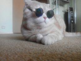Шотландский кот ищет девочку
