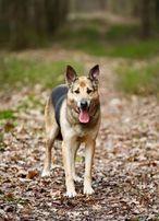 Piękny pies w typie owczarka niemieckiego