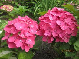 Гортензия садовая красная Ред