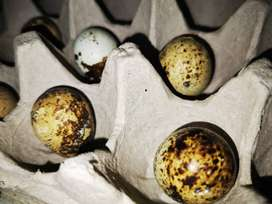 Coturnix Quail Eggs - Might be Fertile