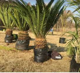 CYCADS TREES available