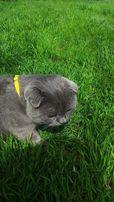 Вязка. Молодой кот (шотландский вислоухий).