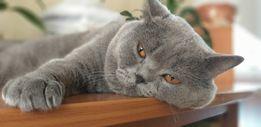 Шотландский кот (Скоттиш страйт) приглашает на вязку кошечку вислоушку