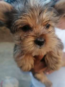 Yorkshire terriers pups for sale