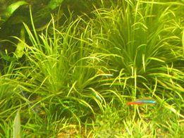 GB blyxa japonica roślina akwariowa