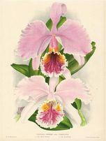 STORCZYKI - ORCHIDEE reprodukcje XIX w. grafik 30x20 cm