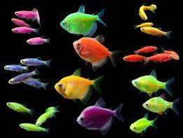 Тернеция,данио, барбусы GloFish, салатовая,синяя,розовая,зеленая
