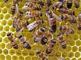 Пчеломатка, матки, пчелы матки. маток ,матку, матка, маточники.