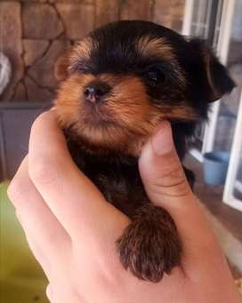 Yorkie Puppies for sale (Dad is miniature)