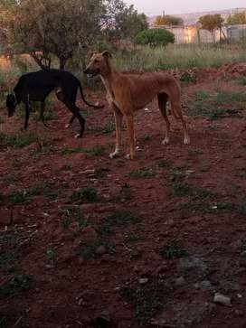 male and female greyhounds dogs for sale