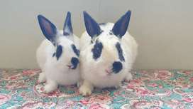 Bunny Pair for Sale