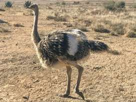 Ostrich Baby 7.5 months old for sale in Kroonstad