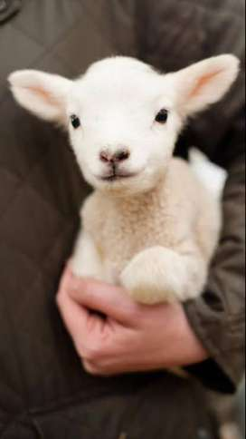 Young Lambs Wanted!!!