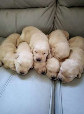 Pedigree labrador puppies for sale.