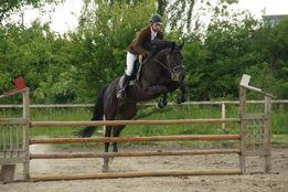 Конкурний кінь мерин