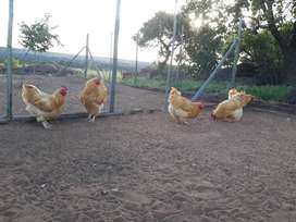 Orpington Roosters
