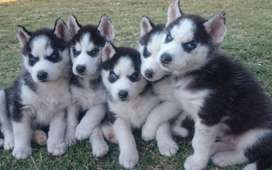 Pedigree Blue Eyed Siberian Husky Puppies