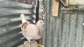 Modena pigeons for sale