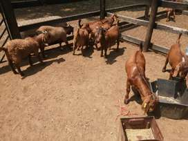 ONLY x 4 LEFT. Kalahari Red Rams for sale for R1500 each