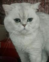Шиншилловый кот скоттиш-страйт приглашает на вязку.