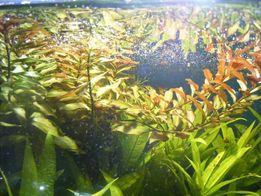 GB ludwigia różne odmiany roślina akwariowa