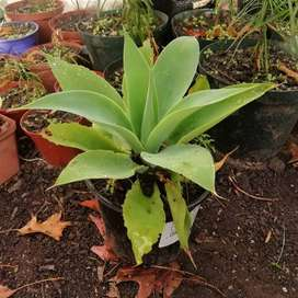 Foxtail Agaves for sale