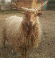 Owce Śruborogie Rackie Młody przepiękny reproduktor.