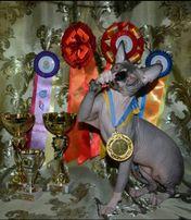 Вязка голубоглазого чемпиона канадского сфинкса с редким окрасом.
