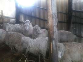 7 merino sheep females for sale