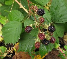 Piękne sadzonki Jeżyny bezkońcowej od producenta!Duże,soczyste owoce !
